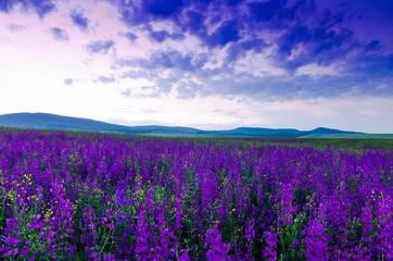 Fototapeta purple flower field in the night.