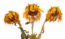 Three Dried Sunflowers Isolated On White Background