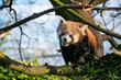 A close up of a red panda in a tree