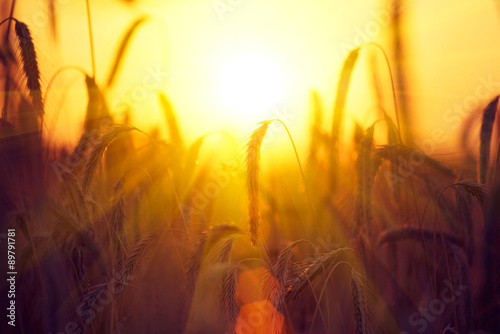 Canvas Prints Culture Field of dry golden wheat. Harvest concept