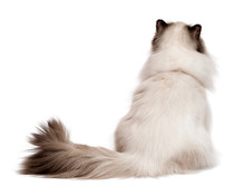 Cute Young Persian Seal Colourpoint Cat Photographed From Behind