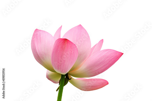 Garden Poster Lotus flower Beautiful lotus flowers bloom Background