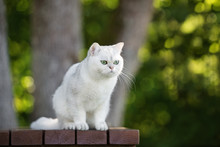 Adorable British Shorthair Cat Outdoors