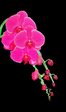 Pink Orchid Isolated On Black Background