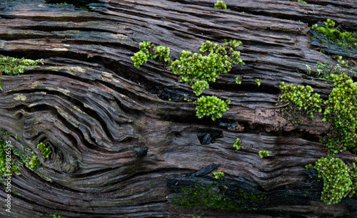 texture of moss on olg tree background