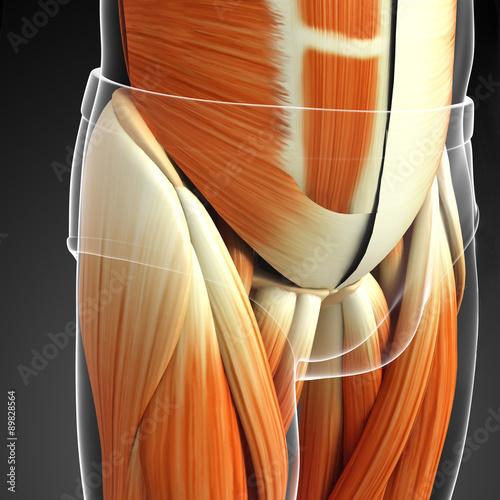 3d-odplacajaca-sie-ilustracja-meska-miednicy-miesnia-anatomia