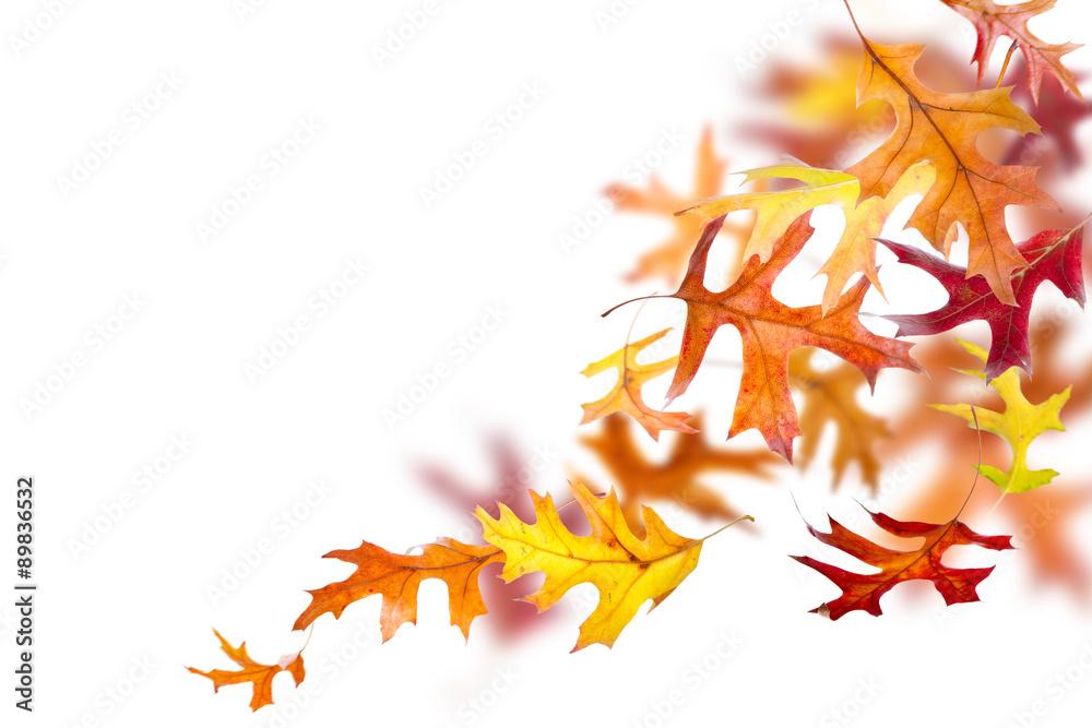Herbst Eiche Blätter Fallen Und Isoliert Auf Weißem