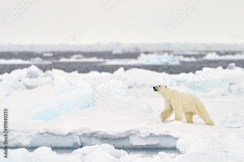 In de dag Ijsbeer Polar Bear (Ursus maritimus) adult, walkin on melting icefloe, floe edge, Baffin Bay, Nunavut, Canada.