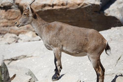 Spain, Gredos Mountain Range National Park, Wild Spanish