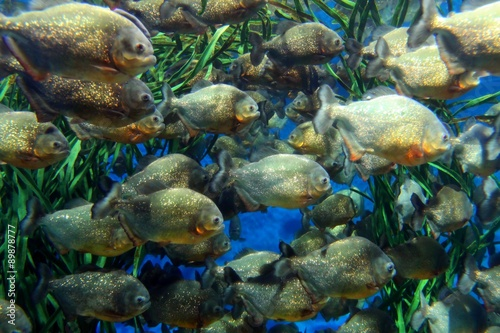 "Valokuva  ""Red bellied piranha school swimming underwater"