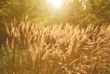 Summer Flowering Grass In Sunset