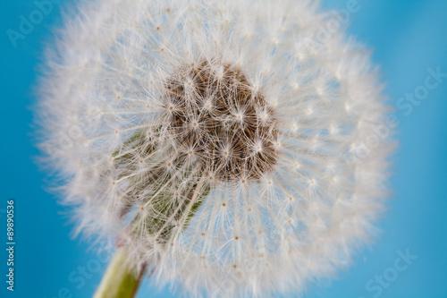 Fototapety, obrazy: Dandelion, blowball, taraxacum macro view.