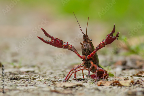 Fényképezés Red swamp crawfish (Procambarus clarkii, red swamp crayfish, Lou