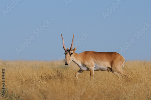 Poster Antilope Critically endangered wild Saiga antelope (Saiga tartarica, male) in morning steppe. Federal nature reserve Mekletinskii, Kalmykia, Russia, August, 2015