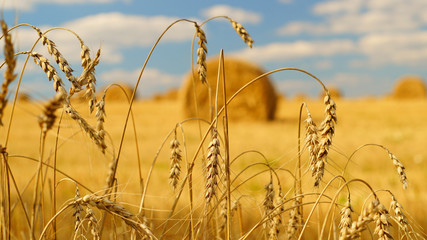 Spikelets of wheat with a hay bales on the background