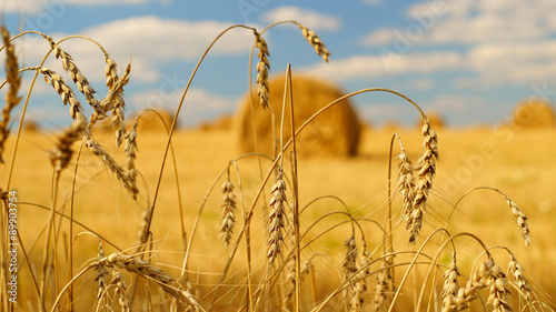 Obraz Spikelets of wheat with a hay bales on the background - fototapety do salonu