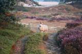 owce na wydmach z kwitnącym wrzosem rano - 89905969
