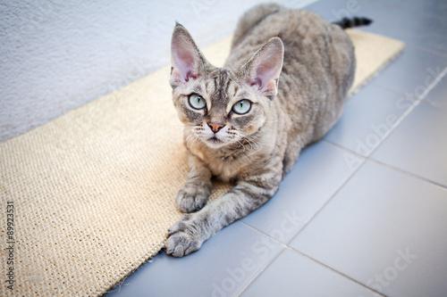 Photo  Beautiful devon rex cat laying on a scratching board