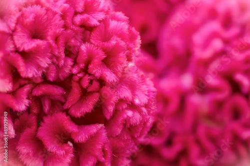 Valokuva  pink cockscomb flower