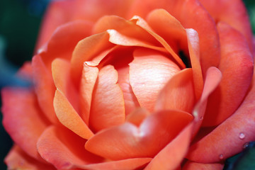 Macro orange rose bud