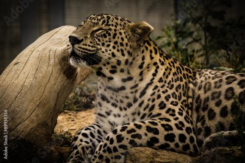 lampart-relaksuje-w-zoo