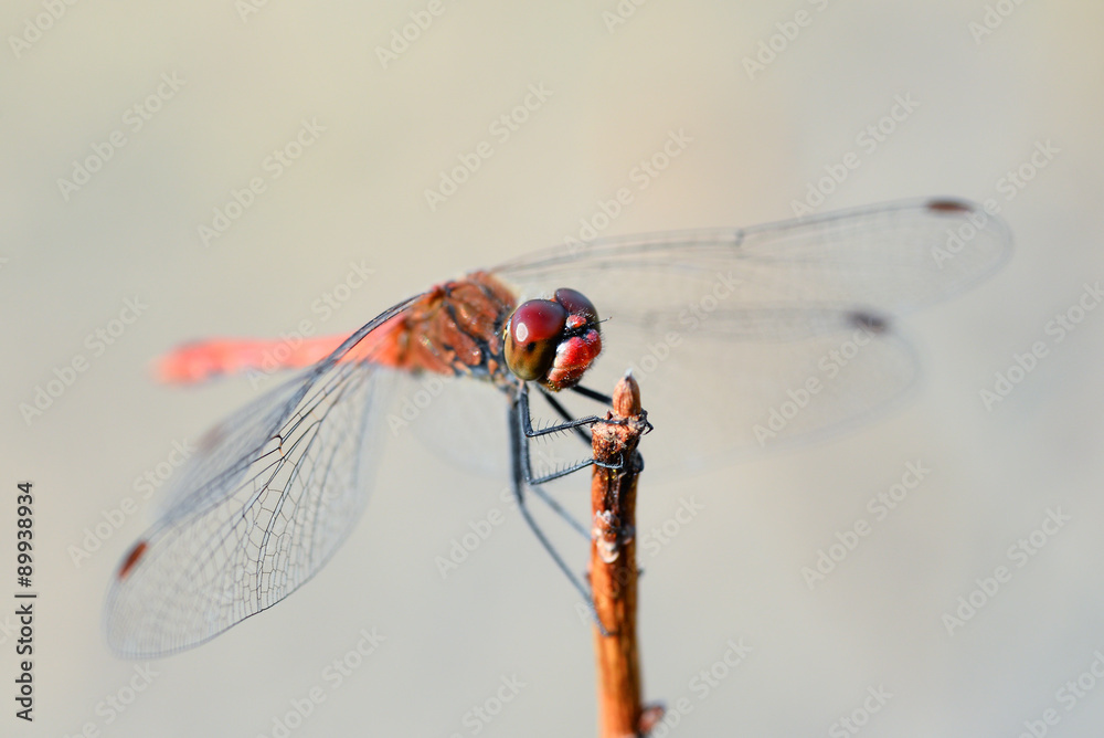 Fotografía Dragonfly and nature/ Dragonfly and natural background ...
