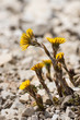 closeup of coltsfoot flowers