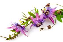 Garten-Schönheit: Passionsblumen: Passiflora Violacea :)