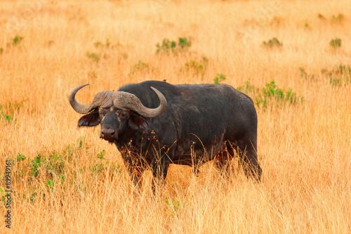 Papiers peints Buffalo Buffalo in Masai Mara