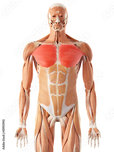 medically accurate illustration of the pectoralis major Tablou Canvas