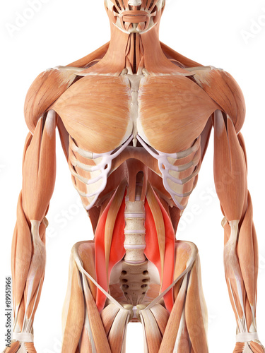 medically accurate illustration of the psoas major Fototapet