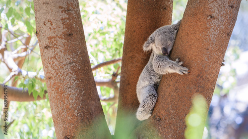 Sleepy koala lying on the tree