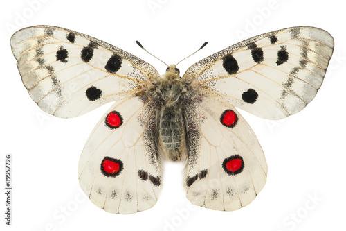 Apollo butterfly (Parnassius apollo) Canvas Print