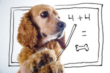 Cute English Cocker Spaniel Puppy In Front Of A White Background Teaching Math With Blackboard Sketch