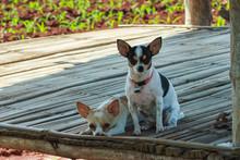 Puppies, Cute Chihuahua.