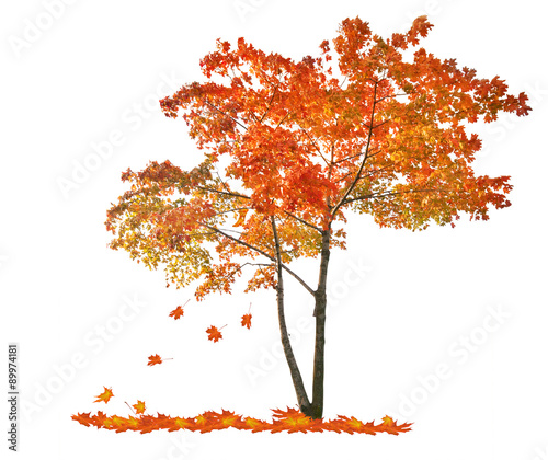 Photo  autumn red maple tree with falling leaves