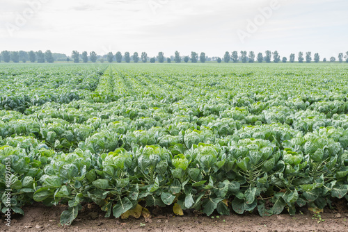 Foto op Canvas Brussel Large field with young Brussels sprout plants