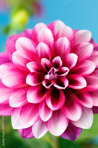 Staande foto Roze ダリアの花