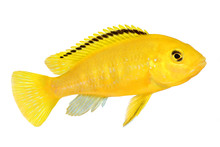 Electric Yellow Cichlid Labidochromis Caeruleus Malawi Aquarium Fish