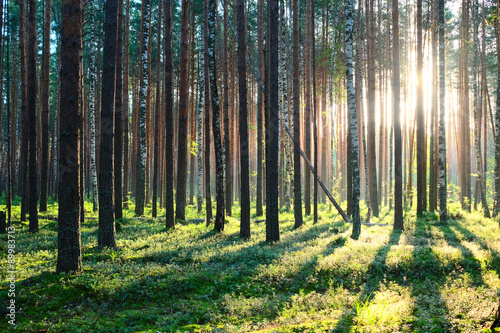 Fototapeten Wald Sunrise in pine forest