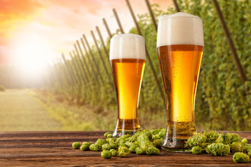 Fototapeta Do gastronomi Beer glasses with hop-field on background