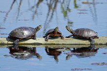 A Group Of Painted Turtles Res...