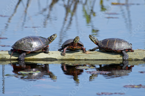 Poster Tortue A Group of Painted Turtles resting on a floating Log.