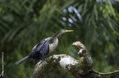 Fotografie, Obraz  Darter or snakebird, anhinga, wildlife in Costa Rica