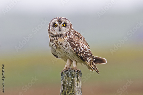 Perched Short-eared Owl, Asio flammeus