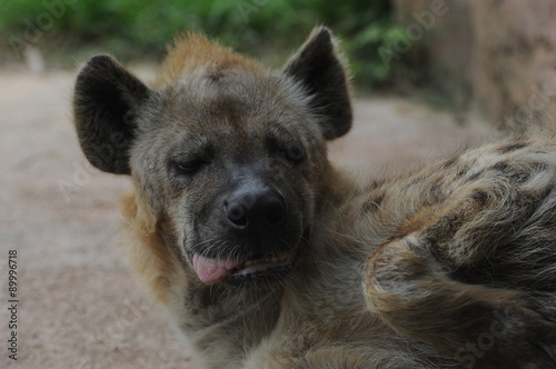 Poster Hyène Hyena with tongue hanging out