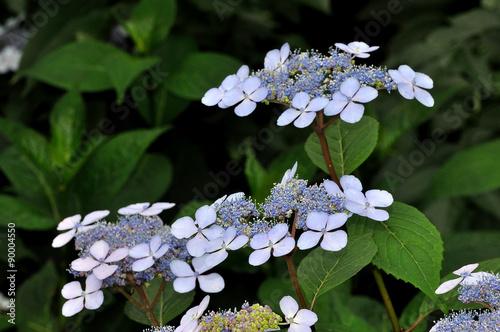 Hortensia A Fleurs Bleues Et Plates Bretagne Kaufen Sie Dieses