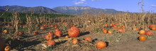 Pumpkin Patch, Upper Ojai, Ojai, California