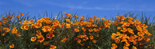These Are California Poppies U...
