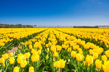 View Of Yellow Tulip Rows In S...